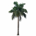 palm in spanish