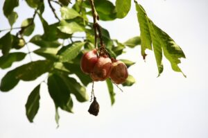 ackee in spanish